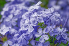 Sunday Flowers (Daniela 59) Tags: hss sliderssunday 100xthe2017edition 100x2017 image9100 blue flowers blueflowers plant plumbago nature theworldaroundme danielaruppel