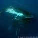 humpback-whales-tonga9