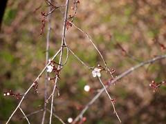 plum tree 20150215 (caligula1995) Tags: 2015 plumflower plumtree