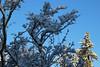 Hillsboro, Oregon (nikname) Tags: hillsborooregon snow snowday winter snowandsun shadows winterdays wintertrees trees snowytrees snowybranches