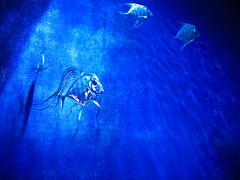 IMG_2305-1-1 (P Anderson - Sea) Tags: ocean blue sea fish cold color art texture wet water beautiful beauty wall silver aquarium glamour shiny natural shimmery salt tranquility sealife korea h2o simplicity serenity pointandshoot serene streaks southkorea majestic idyllic glamor speckled metalic bluefish rok freshness saltwater coex confidence elegance moist individuality tranquilscene vitality republicofkorea fragility beautyinnature