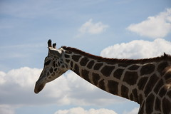Eine Leiter fr den Frisr, bitte! (neumjan) Tags: park himmel wolken giraffe blau serengeti nase muster maul hals ohren hodenhagen giraffenhals giraffenkopf