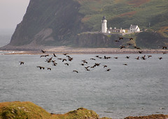 Flock of Canada geese passing Davaar lighthouse (weetoon66) Tags: sea lighthouse bird nature animal island scotland nikon flock flight escocia canadagoose brantacanadensis schottland kintyre ecosse davaar argyl d40