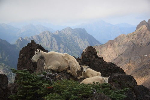 Mountain Goats Atop Mount Ellinor
