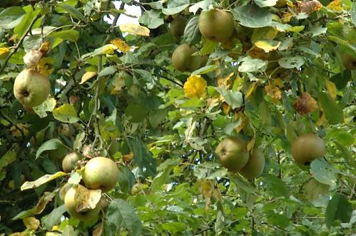 Appels - Apples