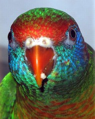 Varied Lorikeet, close up (Ricardo in PR) Tags: blue red pet green bird beautiful yellow nice colorful pattern eating metallic beak feathers handsome lorikeet parrot australia parakeet stunning tropical species aviary lory unusual lovely rare tame skyblue cerulean mischiveous stricking aviculture iridicent handosme stunningly