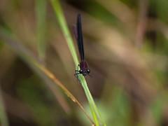 Cabaliño do demo. (Isidr☼ Cea) Tags: españa bug wings spain eyes dragonfly galicia galiza ojos alas ames bicho libélula insecto zuiko70300 olympuse520 castrigo valdamahia