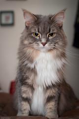 Standing Tall (Jon Schusteritsch) Tags: summer portrait cute cat furry nikon pretty flash sb600 fluffy longisland september whiskers mainecoon sidney ruff diffuser mane longhaired catportrait d90 nikkor35mmf18 garyfongwhaletailreporter graro lynxtips