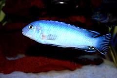 Pseudotropheus socolofi (Appleskatephoto) Tags: fish tank malawi cichlids ciclidos mbunas