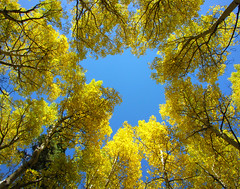 Patches of Blue (Sandra Leidholdt) Tags: autumn trees usa fall nature leaves america automne rockies gold golden us colorado arboles unitedstates fallcolors branches autumncolors explore arbres american rockymountains aspen autunno frontpage autumnal amricain autunnale explored sandraleidholdt leidholdt sandyleidholdt