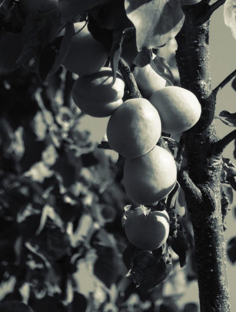 Albaricoques I (Apricot)