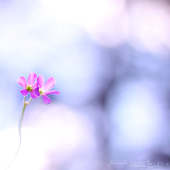Am I only dreaming... (f. prestes) Tags: pink light flores flower love petals couple flickr bokeh amor magic flor dream rosa dreaming magical sonho littleflowers mgico eternalflame florzinha ptalas flickrcolors 50f18 canon500d sonhando thebangles hbw homersiliad happybokehwednesday chamaeterna sunshinesthroughtherain