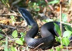 Black Snake 20091013