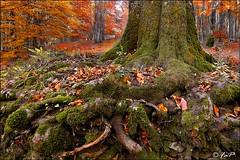Underground (FaP ;-)) Tags: autumn trees mountain fall leaves foglie alberi forest landscape colours autunno colori montagna paesaggio appennino foresta appennini vallombrosa secchieta fap appenninotoscoromagnolo farolfi forestadivallombrosa fap2