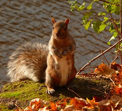 PICO`S COUSIN (picolojojo) Tags: water leaves squirrel eau searchthebest tail panasonic queue feuilles feuille cureuil naturesfinest bej ultimateshot flickrdiamond goldstaraward rubyphotographer paololivornosfriends theoriginalgoldseal