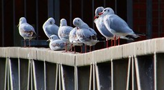 All in a row... (tina negus) Tags: birds leicestershire gulls charnwoodforest cropstonreservoir