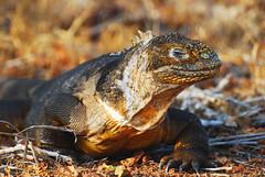 Galapagos Islands-112 (Tristan27) Tags: wild southamerica america ecuador wildlife galapagos iguana roundtheworld landiguana northseymourisland naturesfinest galapagosislands coth supershot anawesomeshot naturewatcher