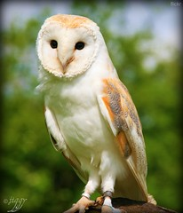 It was the year my Aunt Clara went to visit her cousin. Now, her cousin was not only gifted on the glockenspiel, but being a screech owl, also sang soprano in the London Opera. (thingamijig) Tags: brown white soft beak feathers owl barnowl birdofprey tytoalba knutsford gauntletbirdofpreycentre canon400d heartshapedruff feathertrousers