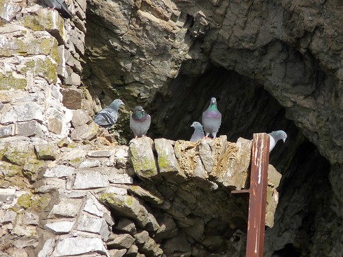 11624 - Rock Doves at Culver Hole, Gower