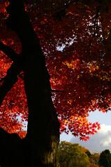 18/19 (Weston) Tags: trees light shadow red sky orange black colors leaves clouds leaf branches sigma tint momiji japanesemaple shade trunk f56 gifu kaede tajimi autuman kokeizan macro50mmf28exdg
