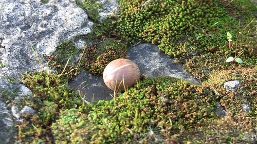 Nut Among Moss