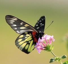 報喜斑粉蝶 Red-base Jezebel (kyuen13) Tags: nature animal canon butterfly insect lepidoptera papillon 7d insecte potofgold lépidoptère redbase vosplusbellesphotos