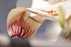 Sheltered Magnolia (Dov Plawsky) Tags: pink white flower brooklyn nikon magnolia botanicalgarden d90