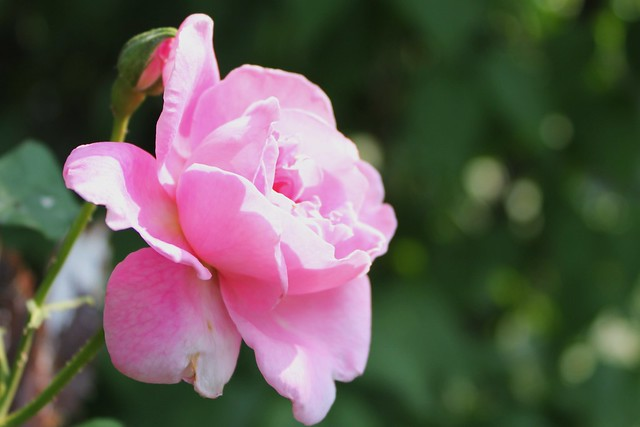 5798208375 540ff3ecd1 z roses of summer.