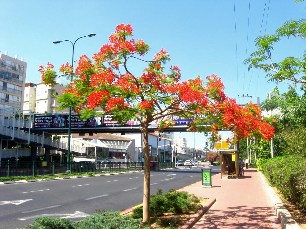 17-06-2011-flame-tree