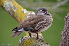 Anatra mandarina _007 (Rolando CRINITI) Tags: anatramandarina uccelli uccello birds ornitologia villaserra genova natura