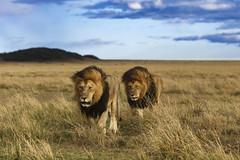 Awesome twosome (Nitin's Photography) Tags: lions wildlife nature grasslands mane masaimara kenya bigcats bigfive animals groggy strolling travel