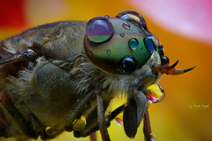 The Fly (bug eye :) Thailand) Tags: animals wildlife fly flight macro closeup unsect bug bugeye chiangmai thailand canon