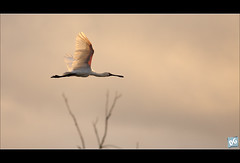 Leaving... (David de Groot) Tags: bird canon wildlife au birding australia brisbane queensland sherwood spoonbill birdinflight royalspoonbill platalearegia canonef400mmf56lusm oxleycreekcommon 5dmkii