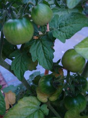 Veel tomaatjes Tiny tim