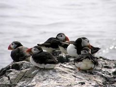 puffins (Black Cat Photos) Tags: uk sea england bird nature water blackcat photography boat photo europe wildlife gull relaxing sunny cliffs m northumberland chilling puffin boattrip farne farneislands farn colony seabirds glisten fraterculaarctica farneisland farns farnislands blackcatphotography blackcatphotos