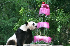 IMG_9950 (kjdrill) Tags: china birthday bear usa animal cake happy washingtondc bears 4th celebration 9950 endangeredspecies taishan