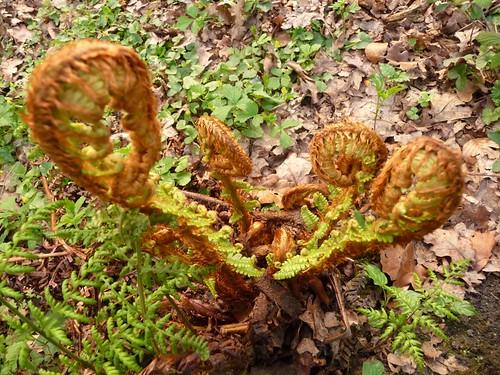 ferns-unfolding-romsey-river-tess-woodland-20.4.09-no7