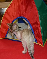 Checking out the new tent and blanket. (Junglelure) Tags: blue red cats brown white west green phoenix girl cat asian eyes kitten aqua florida cinnamon central kittens spots leopard spotted marbled bengals f5 emerald bengal f4 milagros snowleopard rosettes leopards snows breeder f7 f6 cattery tangie snowbengal rosetted seallynx sealmink sealsepia junglelure