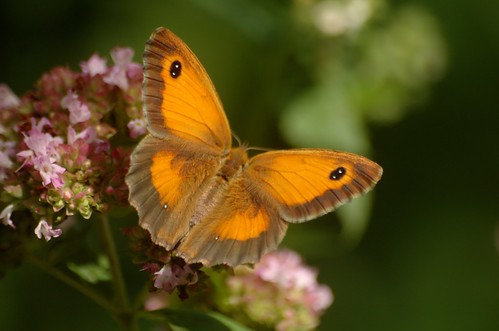 Pyronia tithonus | Oranje zandoogje (vrouwtje) - Gatekeeper (female)