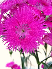 pink flowers flower macro sweetwilliam