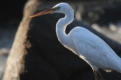 In deep thoughts ? may be ? (AgniMax) Tags: sea heron nature kerala beah kovalam