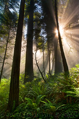 Jurassic Light (Floris van Breugel) Tags: california trees fog jungle sunburst redwood ferns prehistoric jurassic delnorte redwoodnationalpark