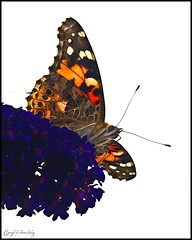 Der Prchtige/The Magnificent// (shaman_healing) Tags: nature animals butterfly garden tiere natur garten schmetterlinge bej