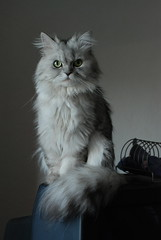 Lord (akk_rus) Tags: pet cats pets nature animal animals cat persian chats nikon feline chat gato marcello    d80 nikond80 bestofcats boc0909