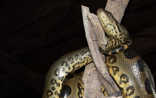 Anaconda by Wendorf Rodríguez, on Flickr