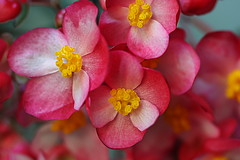 neighbor (helen sotiriadis) Tags: pink friends flower macro yellow closeup canon published dof bokeh depthoffield begonia naturesfinest canonef100mmf28macrousm canoneos40d toomanytribbles