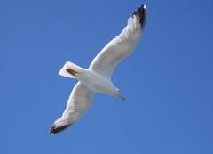 Meeuw (turkoois4kant) Tags: blue sky white bird flying blauw seagull wit meeuw vogel zweven vliegen vleugels