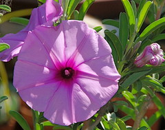 Ipomoea jageriana Flower (plantmanbuckner) Tags: california plant flower green garden succulent purple caudex fatplant morninggloryfamily theplantman