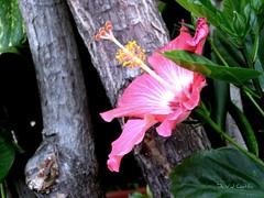 I AM HERE (IDIAY) Tags: pink hibiscus amando rosados adiccion