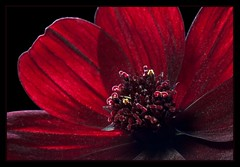 Chocolate Cosmos (There and back again) Tags: red flower macro closeup chocolate backlit cosmos